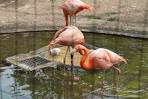 上野動物園 フラミンゴ