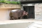 上野動物園 カバ