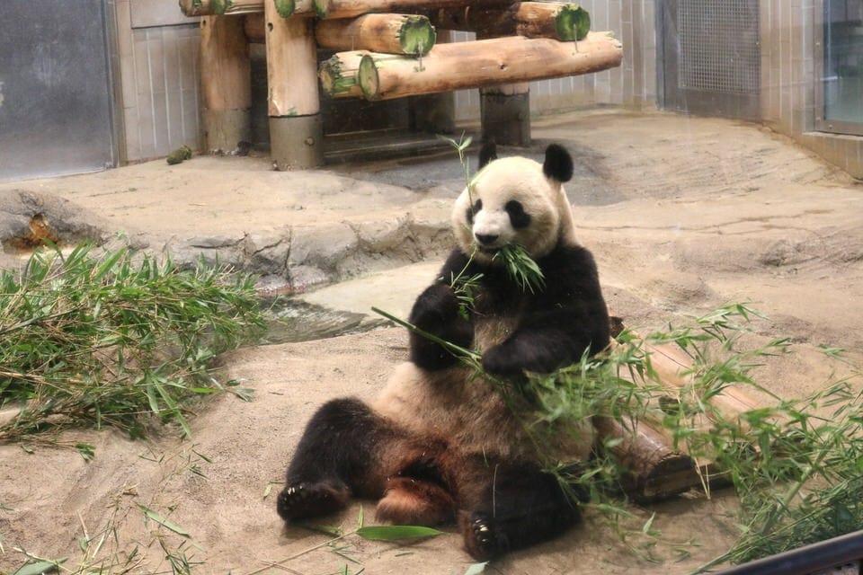 ueno zoo pandaaa