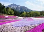 Saitama_hitsujiyama park_shibazakura copy