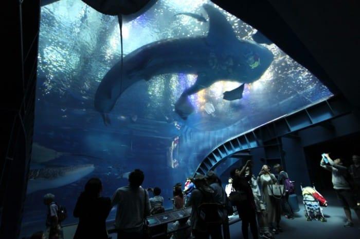 Come see the whale sharks at the churaumi aquarium for Aquarium angle
