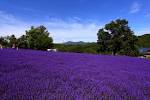 Marvelous Horomitouge Lavender Garden In Hokkaido Is Just Too Beautiful  With Exciting And With Lavender In The Foreground And The Cityscape Of Sapporo In The  Background This Is A View That Simply Cannot Be Enjoyed Anywhere Else With Lovely Kaya Garden Also Paul Restaurant Covent Garden In Addition Nail Salon Covent Garden And Covent Garden Outdoor Shops As Well As Buy Garden Shredder Additionally Front Garden Trees From Matchajpcom With   Exciting Horomitouge Lavender Garden In Hokkaido Is Just Too Beautiful  With Lovely And With Lavender In The Foreground And The Cityscape Of Sapporo In The  Background This Is A View That Simply Cannot Be Enjoyed Anywhere Else And Marvelous Kaya Garden Also Paul Restaurant Covent Garden In Addition Nail Salon Covent Garden From Matchajpcom