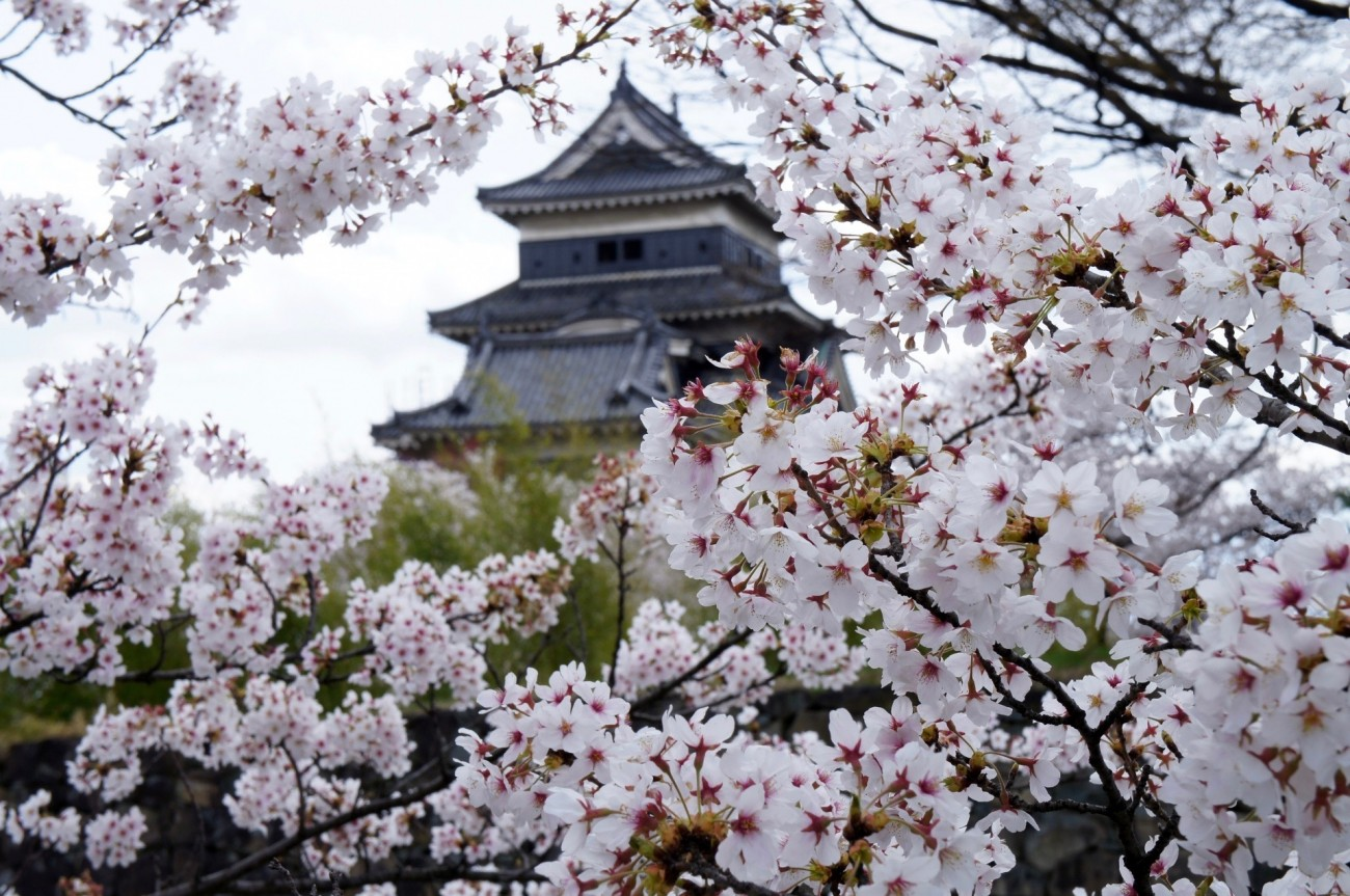 จุดชมดอกซากุระบาน ประเทศญี่ปุ่น ปราสาทมัตสึโมโตะ