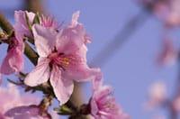 Cách nhận biết hoa mơ, hoa anh đào, hoa đào mà ngay cả người Nhật cũng dễ nhầm lẫn