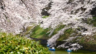 Experience Stunning Cherry Blossoms In Central Tokyo - Chidorigafuchi