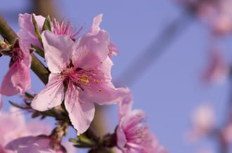Plum, Cherry, and Peach Blossoms - The Differences Between Them