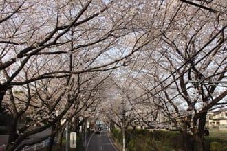 【東京】來福山雅治「櫻坂」的櫻花舞台上觀賞春天粉色風暴