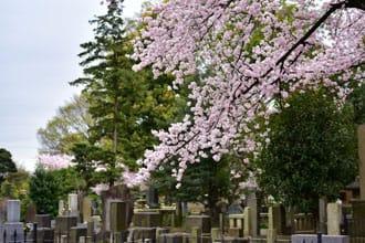『日暮里』東京私房賞櫻景點「谷中靈園」讓你獨佔櫻花季