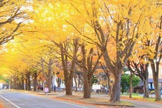 『北海道大學』黃澄閃耀的夢幻銀杏大道