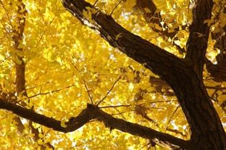 色彩の美しさにみとれる。明治神宮外苑の銀杏並木が見頃!