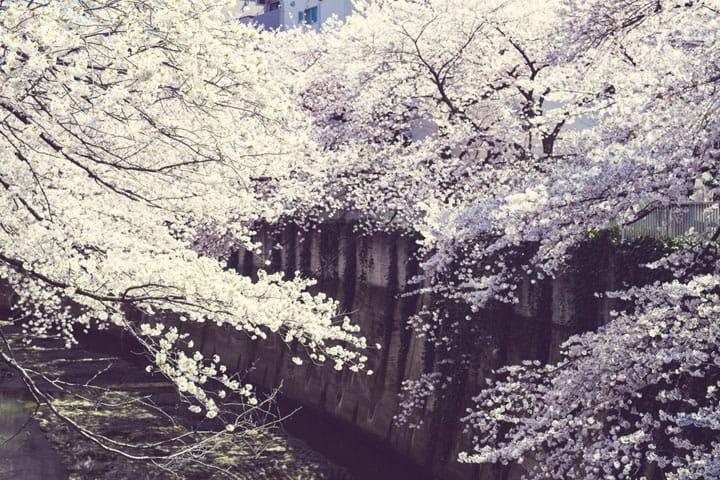 Shimmering Sakura Along The Kanda Riverside, Waseda