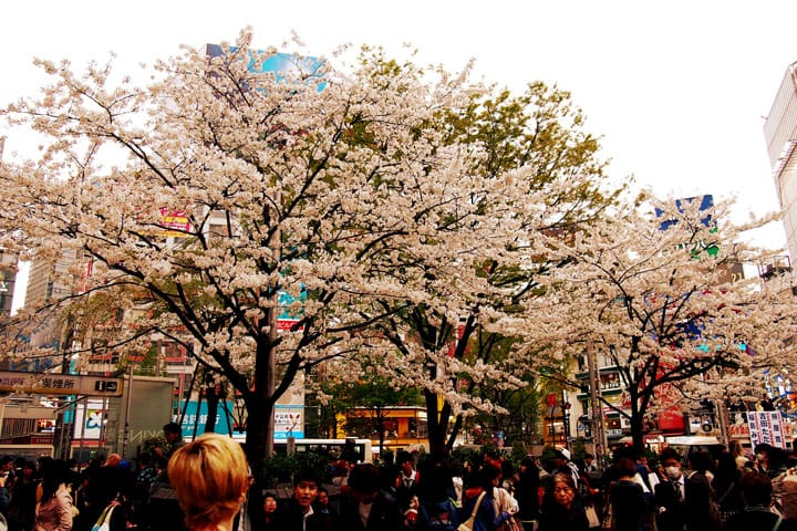 6 Great Cherry Blossom Spots In The Tokyo Metro Area