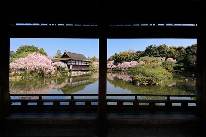 The Weeping Cherry Trees In Okazaki, Kyoto