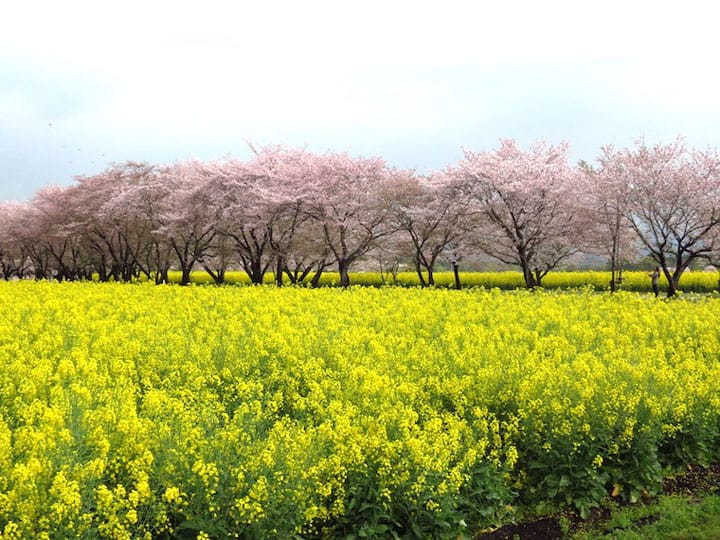 5 Great Cherry Blossom Viewing Spots In Kyushu
