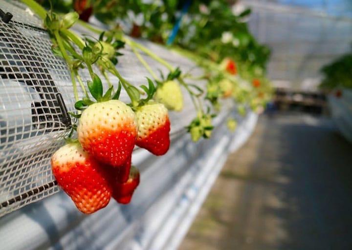 Fukuoka's Specialty! Strawberry Picking At Chikushino Strawberry Farm