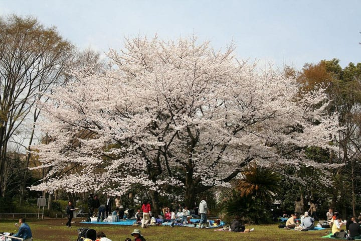 Hanami - How To Enjoy Cherry Blossom Viewing