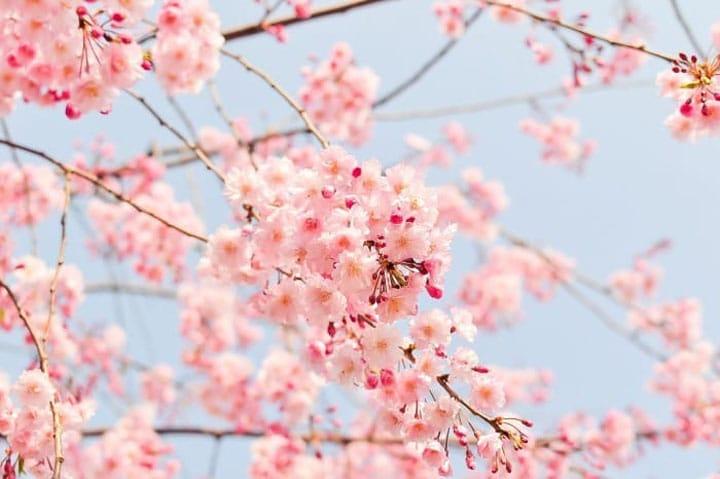 ตรวจสอบการดูดอกซากุระได้ทั่วทั้งญี่ปุ่นแบบเก๋ๆ!ผ่านการเดินเล่นด้วยกูเกิลสตรีทวิว