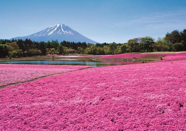 Bonito en rosa: Una vista del Monte Fuji y 800,000 shibazakura para el 2018