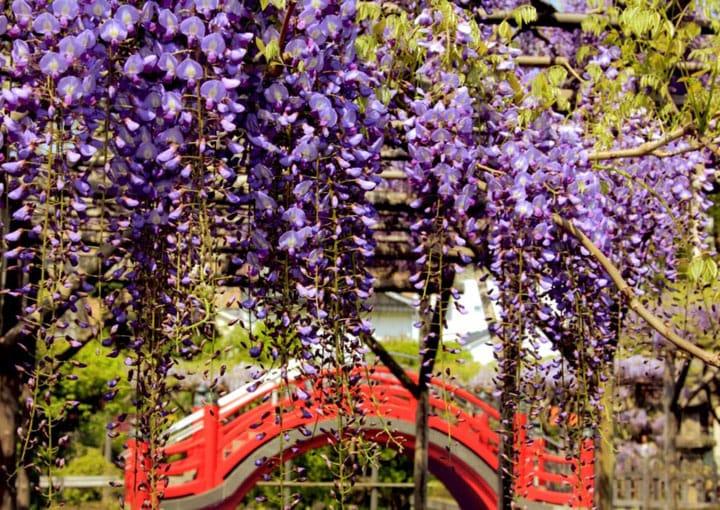 After The Sakura, Relish The Wisteria At Kameido Tenjinja Shrine