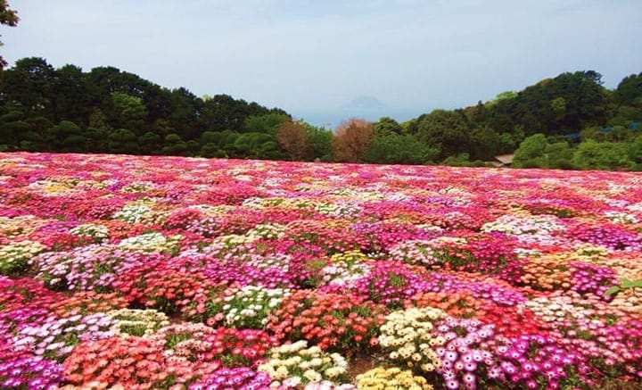 Seasonal Flowers in Full Bloom! Nokonoshima Island Park, Fukuoka