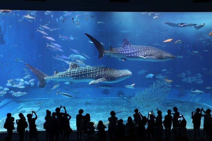 Come See The Whale Sharks At The Churaumi Aquarium