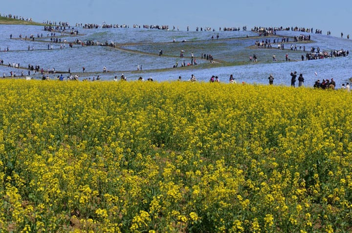 Flowers As Far As The Eye Can See - Hitachi Seaside Park