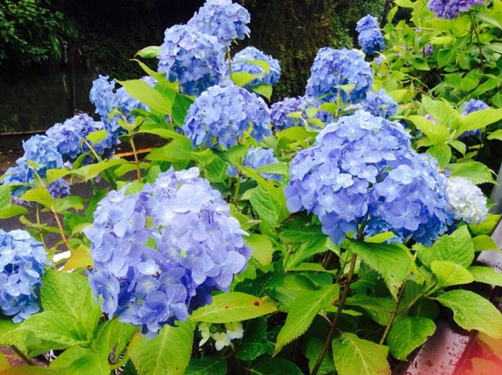 Best 5 Hydrangea Spots In And Around Tokyo - The Joy Of The Rainy Season