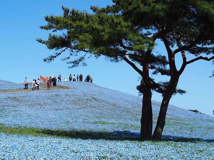 【东京近郊茨城】海滨公园,梦幻吸睛粉嫩蓝色花海~