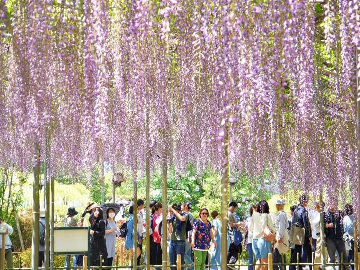 『栃木足利花卉公園』紫藤花物語,世界十大夢幻旅遊景點