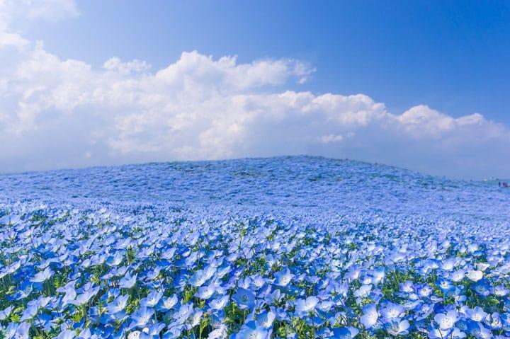 ネモフィラの花々は、空よりも青かった。茨城県の国営ひたち海浜公園「みはらしの丘」で大パノラマを望む