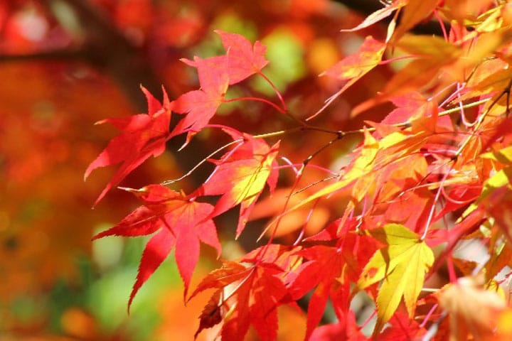 日本のことば事典「紅葉狩り」