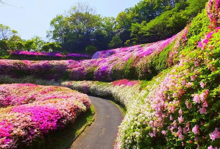生駒山なるかわ園地をハイキング中に見つけた、つつじの花の海