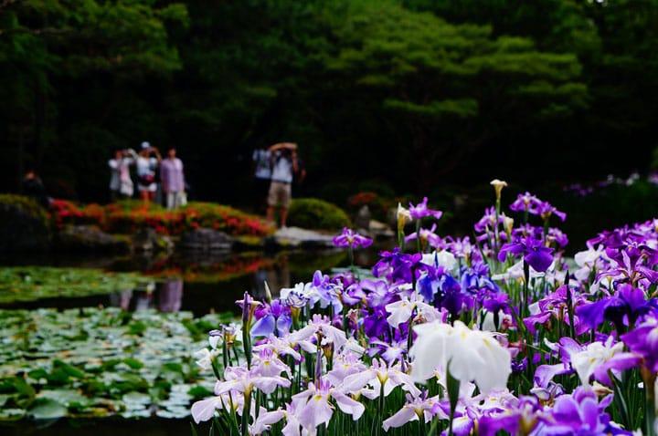 【雨の日】京都「平安神宮」の花菖蒲が薫る、とこしえの自然美