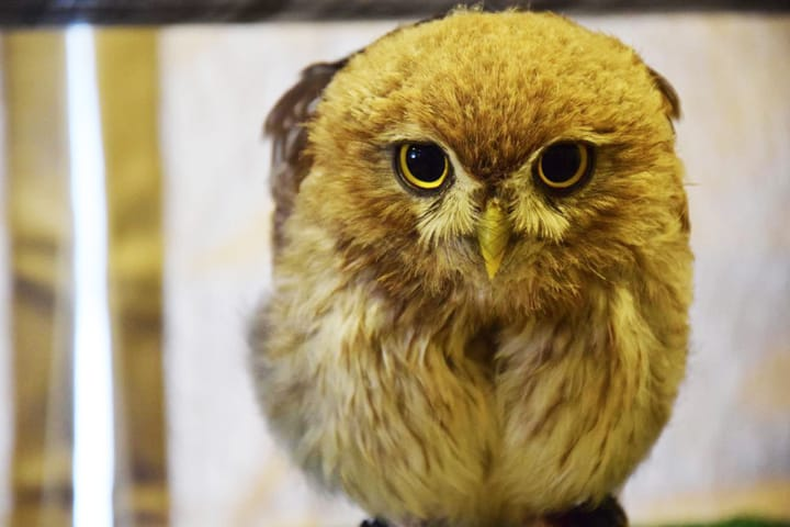 Meet Owls In Kichijoji: Musashino Cafe & Bar Owl Village