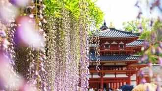 「世界文化遺產.平等院紫藤花」的圖片搜尋結果