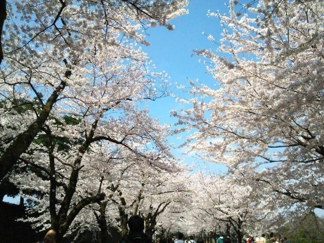 歴史ある街石川県・金沢市で桜を堪能しよう。金沢の桜スポットまとめ