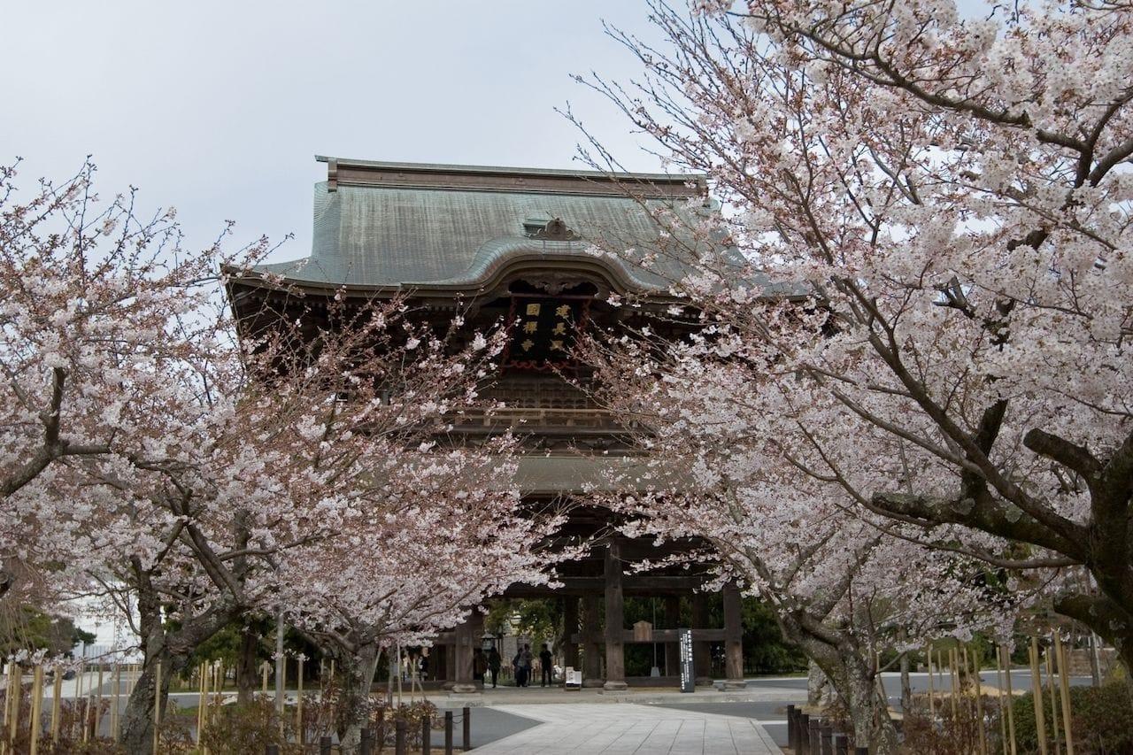 鎌倉・桜の花見
