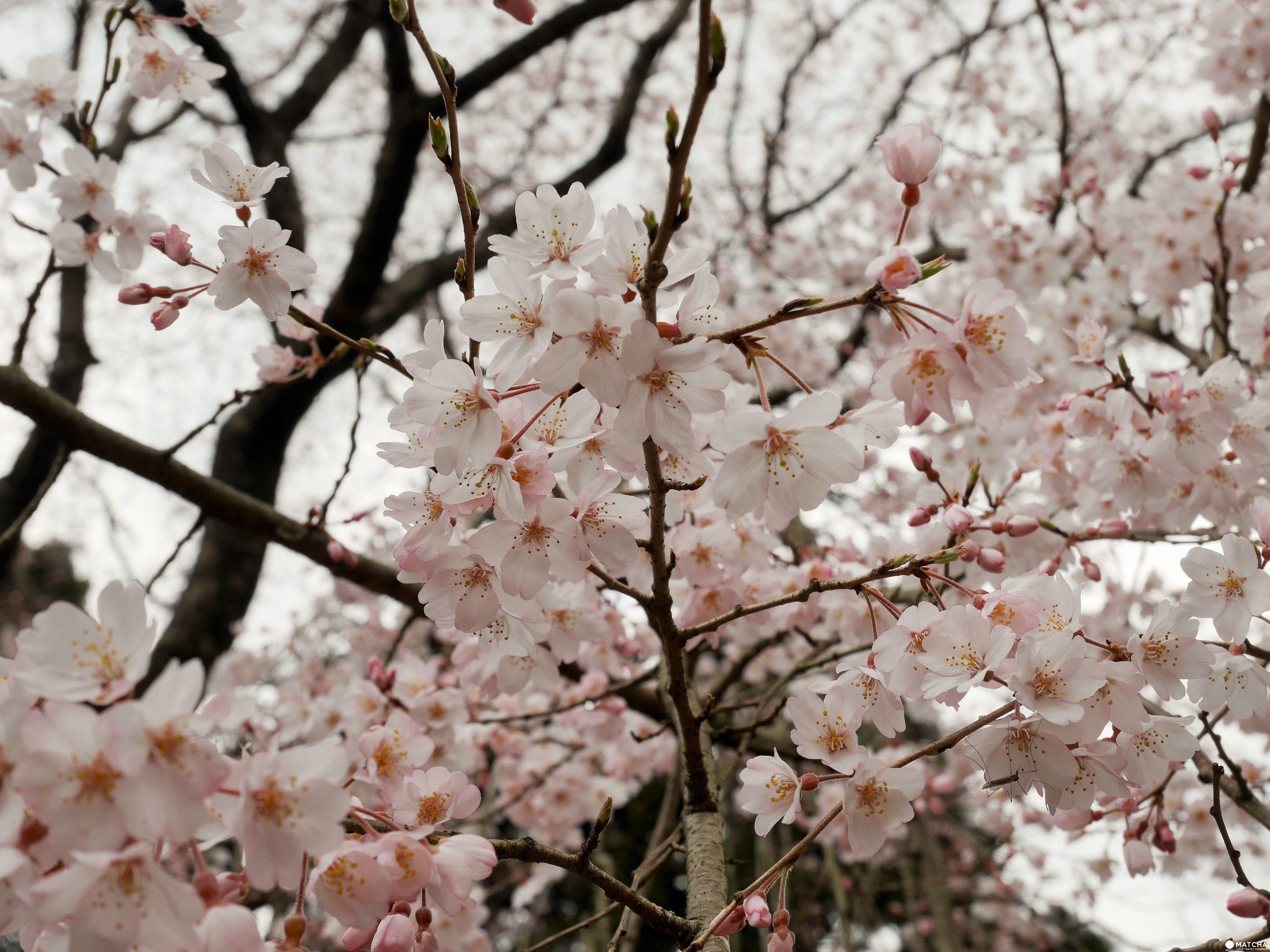 【京都賞櫻】豐臣秀吉的華麗謝幕,醍醐花見之「醍醐寺」