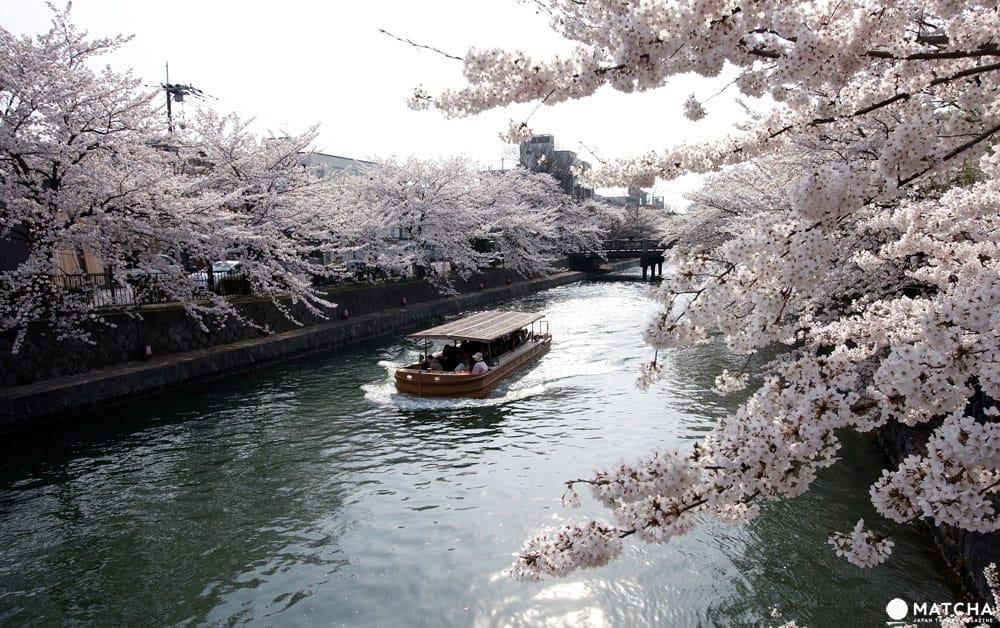 【京都】搭上粉紅色的100號洛巴士,開啟賞櫻之旅吧!