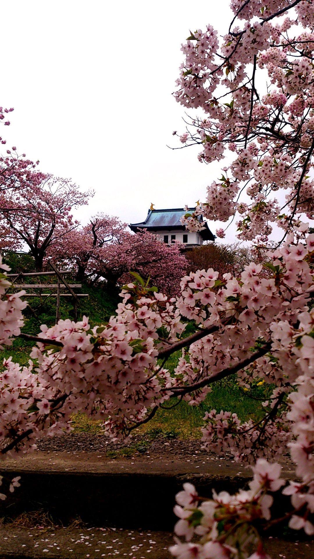 錯過三月櫻花季!晚開北海道櫻花5選