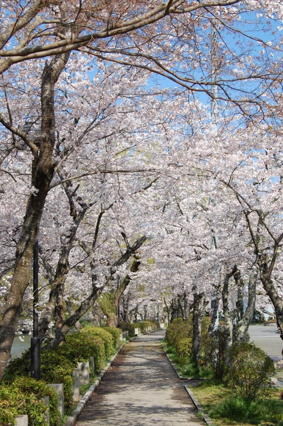 kameoka sakura