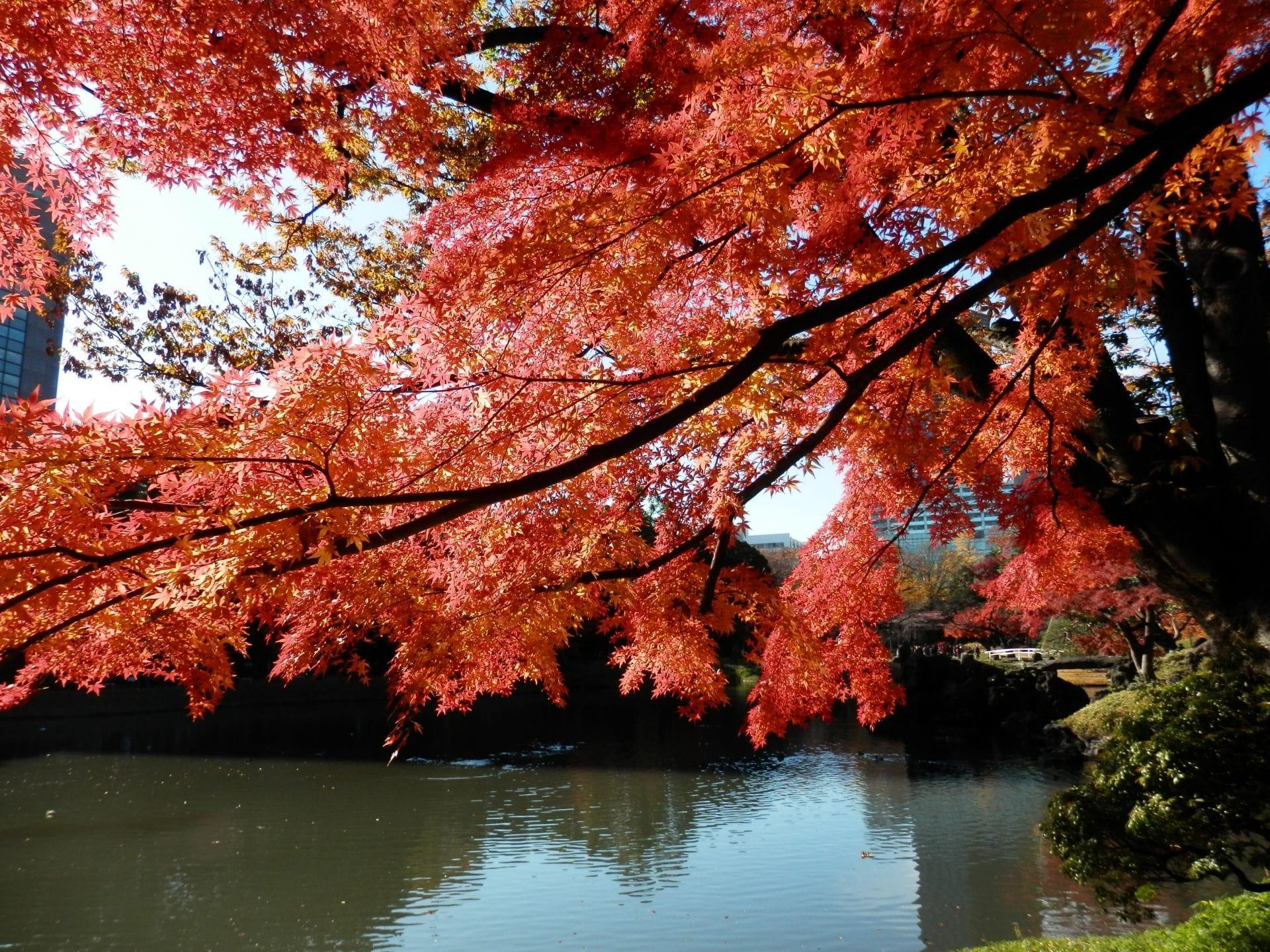 Musim Gugur Datang! 10 Tempat Menikmati Momiji di Tokyo