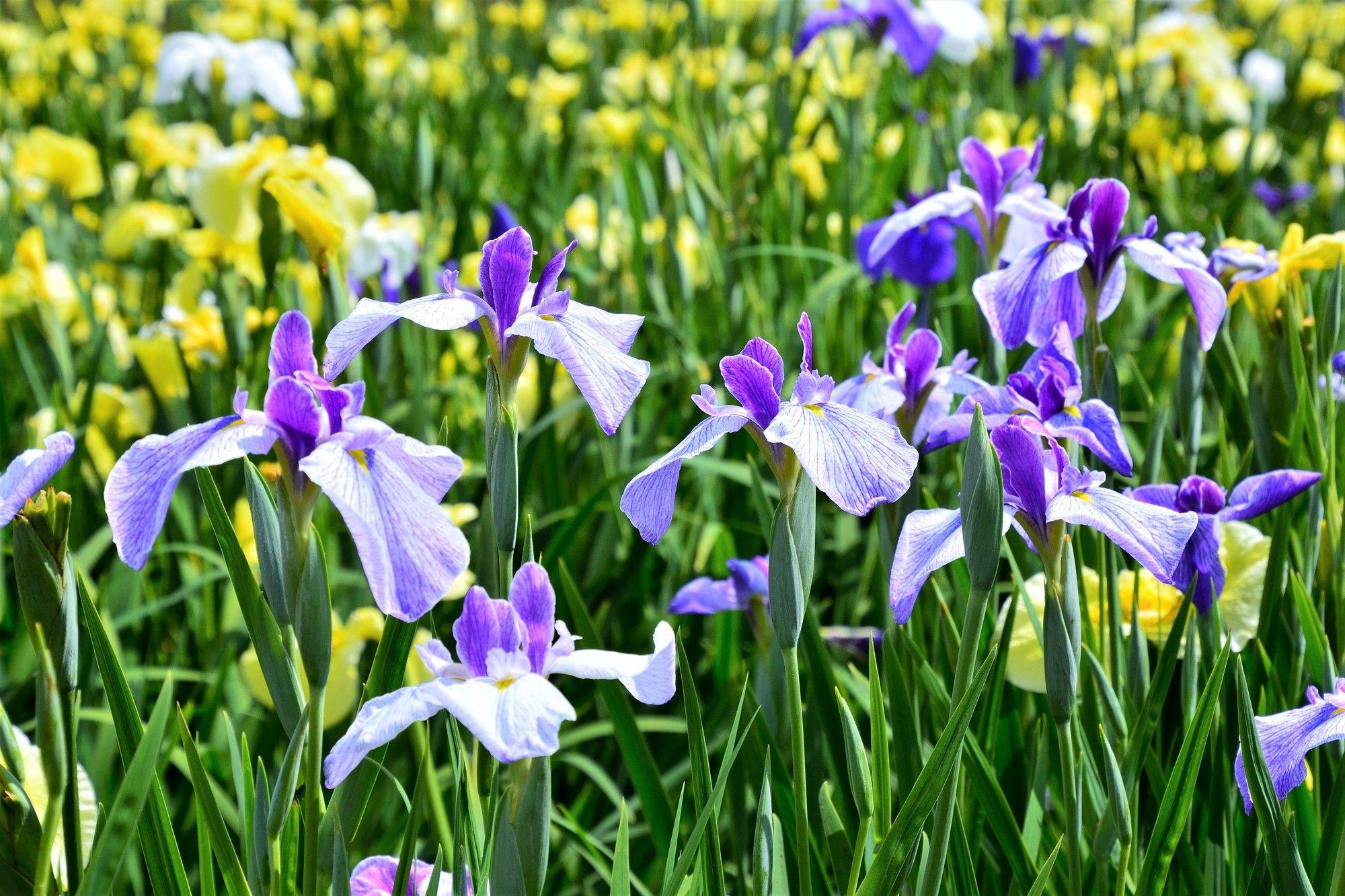 Japanese irises