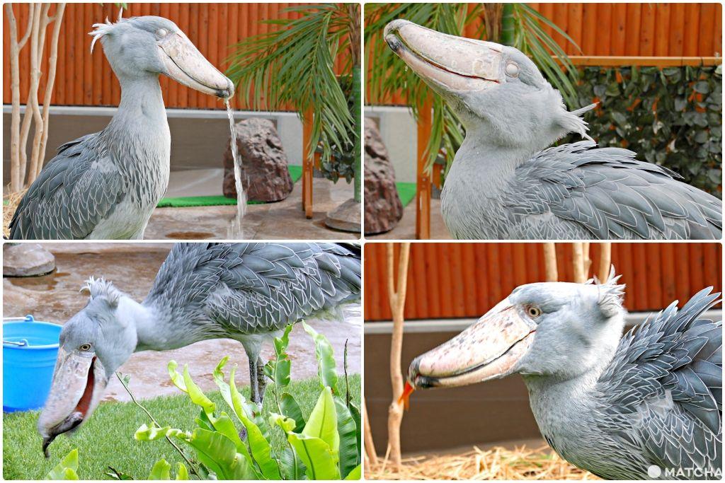 掛川鯨頭鸛餵食