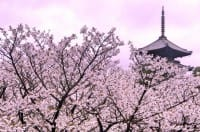 15 Best Cherry Blossom Viewing Spots In Kyoto!