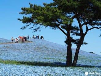 <div class='captionBox title'>『東京近郊茨城』日立海濱公園 夢幻吸睛粉嫩藍色花海</div>