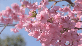 See Japan In Videos - 8 Recommended Cherry Blossom Sights