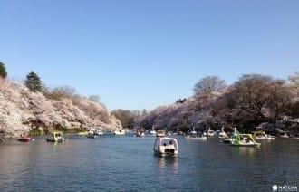 除上野公園外 吉祥寺櫻花也超美!「井之頭公園」踩船、遊湖、賞櫻花!