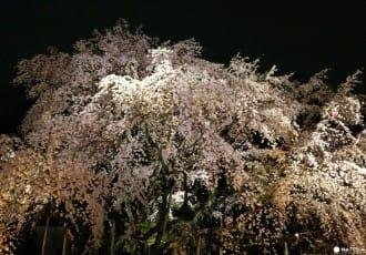 【東京】六義園賞櫻,氣勢磅礡的一本枝垂櫻