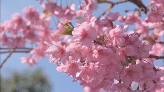 【เที่ยวญี่ปุ่นผ่านวิดีโอ】8 แหล่งชมซากุระโปรยปรายขึ้นชื่อ